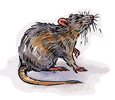 Rat illustration